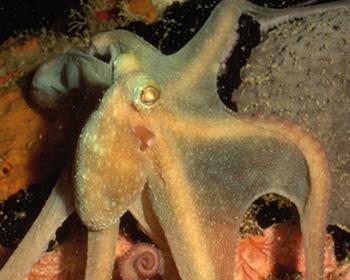 Лучик света - энциклопедия для детей. Морские животные: осьминог