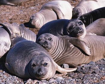 Лучик света - энциклопедия для детей. Морские животные: тюлень