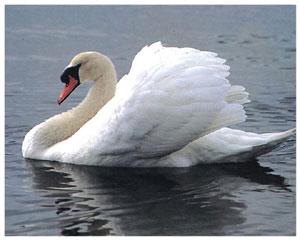 птица лебедь фото