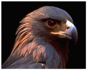 орёл птицы фото